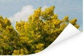 Mimosa bloemen met een blauwe lucht Poster 180x120 cm - Foto print op Poster (wanddecoratie woonkamer / slaapkamer) XXL / Groot formaat!