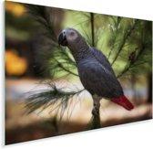 Grijze roodstaart of papegaaiachtige in de schaduw van een blad Plexiglas 30x20 cm - klein - Foto print op Glas (Plexiglas wanddecoratie)