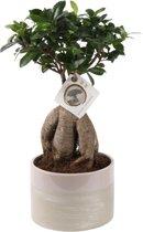 Bonsai Ficus Ginseng (groene  pot), 40 CM hoog