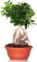 Ficus Ginseng Schaalvorm