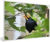 Foto in lijst - Treurmaina in een boom vol met bladeren fotolijst wit 60x40 cm - Poster in lijst (Wanddecoratie woonkamer / slaapkamer)