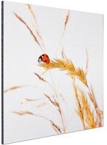 Lieveheersbeestje op gras Aluminium 60x40 cm - Foto print op Aluminium (metaal wanddecoratie)