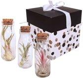 Choice of Green - Tillandsia Luchtplant in glazen vles 3 stuks in giftbox + verzorgingsspray - Hoogte ↕ 17 cm