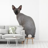 Fotobehang vinyl - Grijze Sphynx kat op een witte achtergrond breedte 235 cm x hoogte 320 cm - Foto print op behang (in 7 formaten beschikbaar)