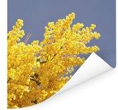 Felgele mimosa bloemen met blauwe lucht Poster 75x75 cm - Foto print op Poster (wanddecoratie woonkamer / slaapkamer)