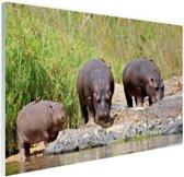 Nijlpaarden naast elkaar in Zuid-Afrika Glas 120x80 cm - Foto print op Glas (Plexiglas wanddecoratie)