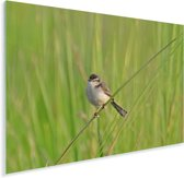 Prachtige graszanger schittert in de natuur Plexiglas 160x120 cm - Foto print op Glas (Plexiglas wanddecoratie) XXL / Groot formaat!