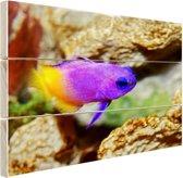 Paars-gele vis onder water Hout 120x80 cm - Foto print op Hout (Wanddecoratie)