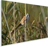 Beeld van een baardman in het riet Plexiglas 180x120 cm - Foto print op Glas (Plexiglas wanddecoratie) XXL / Groot formaat!