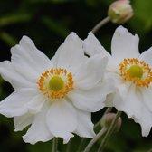 6 x Anemone 'Honorine Jobert' Of Japanse Anemoon