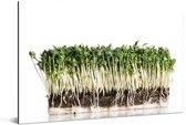 De groene tuinkers rusten tegen een lichte achtergrond Aluminium 180x120 cm - Foto print op Aluminium (metaal wanddecoratie) XXL / Groot formaat!