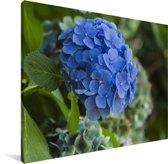 Blauwe hortensia bloem in een tuin Canvas 40x30 cm - klein - Foto print op Canvas schilderij (Wanddecoratie woonkamer / slaapkamer)