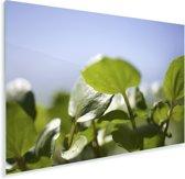 Close up van de witte waterkers bladeren tegen een strakblauwe hemel Plexiglas 120x80 cm - Foto print op Glas (Plexiglas wanddecoratie)