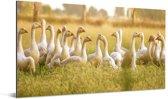Een groep ganzen in het veld Aluminium 80x40 cm - Foto print op Aluminium (metaal wanddecoratie)