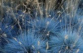 3x Festuca glauca Elijah Blue 30-40cm incl pot 2Ltr.  - Blauw schapengras