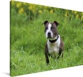 Een Staffordshire Bull Terrier in het groene gras Canvas 180x120 cm - Foto print op Canvas schilderij (Wanddecoratie woonkamer / slaapkamer) / Huisdieren Canvas Schilderijen XXL / Groot formaat!
