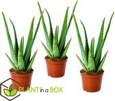 PLANT IN A BOX Aloe Vera - Set van 3 stuks - Hoogte ↕ 25 - 35 cm
