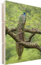 Pauw rust in een boom Vurenhout met planken 60x90 cm - Foto print op Hout (Wanddecoratie)