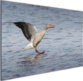 Grijze gans in het water Aluminium 90x60 cm - Foto print op Aluminium (metaal wanddecoratie)