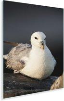 Close-up van een Noordse stormvogel Plexiglas 20x30 cm - klein - Foto print op Glas (Plexiglas wanddecoratie)
