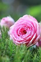 A Charming Pink Moss Rose Bush in the Garden Journal