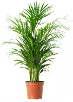 Kamerplant - Chrysalidocarpus - ↑ 90cm