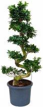 Ficus Bonsai XL