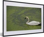 Foto in lijst - Een trompetzwaan in groen water fotolijst zwart met witte passe-partout 60x40 cm - Poster in lijst (Wanddecoratie woonkamer / slaapkamer)