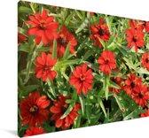 Rode zinnia bloemen tijdens een zonnige middag Canvas 90x60 cm - Foto print op Canvas schilderij (Wanddecoratie woonkamer / slaapkamer)