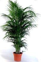 Howea Forsteriana - Kentia palm ( Ideaal voor binnen ) met 150+cm hoogte incl. Ø 24 cm pot