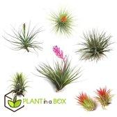 PLANT IN A BOX Tillandsia - Luchtplantjes - Set van 6 stuks