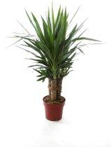 Kamerplant - Yucca Elephantipes - 3 stammig - ↑ 90cm