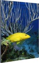 Gele kegelvis bij het rif Aluminium 60x90 cm - Foto print op Aluminium (metaal wanddecoratie)
