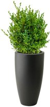 Buxus Sempervirens In Pure Soft Antraciet