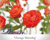 Rosa 'Orange Morsdag'