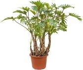 Philodendron Xanadu Luchtwortels