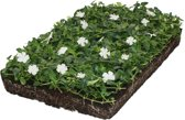 Covergreen® kant-en-klare plantenmat Maagdenpalm wit (Vinca minor)