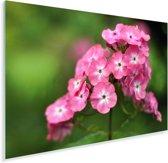 Roze vlambloemen met groene achtergrond Plexiglas 90x60 cm - Foto print op Glas (Plexiglas wanddecoratie)