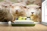 FotoCadeau.nl - Drie witte schapen Fotobehang 380x265