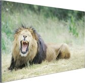 Stoere leeuw Aluminium 90x60 cm - Foto print op Aluminium (metaal wanddecoratie)