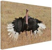 Struisvogel doet paringsdans Canvas 80x60 cm - Foto print op Canvas schilderij (Wanddecoratie woonkamer / slaapkamer) / Dieren Canvas Schilderijen