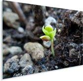 Kleine alfalfa of luzerne plant in de grond Plexiglas 160x120 cm - Foto print op Glas (Plexiglas wanddecoratie) XXL / Groot formaat!