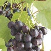 Vitis vinifera Frankenthaler
