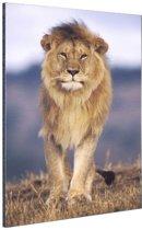 Close-up lopende leeuw Aluminium 20x30 cm - Foto print op Aluminium (metaal wanddecoratie)