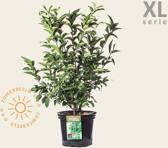 Euonymus europaeus 'Red Cascade' - XL