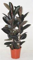 Ficus elastica 'Abidjan' pot 27
