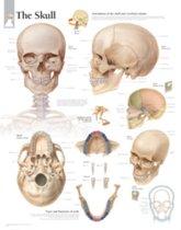 Skull Paper Poster
