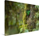 Quetzal rustend in zijn nest Canvas 60x40 cm - Foto print op Canvas schilderij (Wanddecoratie woonkamer / slaapkamer)
