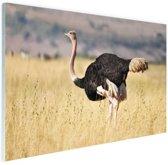 Struisvogel in de natuur Glas 90x60 cm - Foto print op Glas (Plexiglas wanddecoratie)