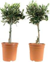 2x Mini olijfboom Ø15cm ↑35cm